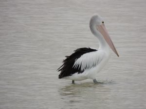Pelican in Moonta Bay